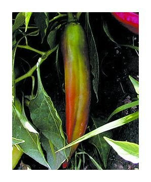 Big Jim hot pepper seeds