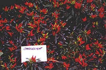 Candlelight decorative pepper seeds