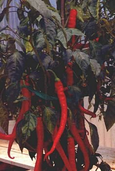 CAYENNE LARGE THICK, HOT PEPPER SEEDS
