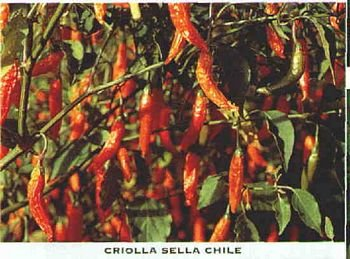 Criolla Sella hot pepper seeds
