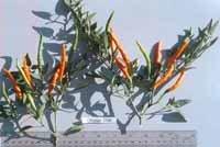 Orange Thai hot pepper seeds
