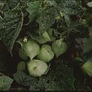Aunt Molly's Ground Cherry, Polish heirloom husk tomato seeds