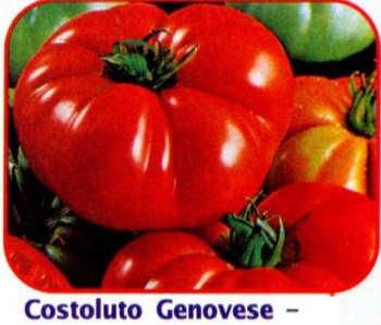 Costoluto Genovese seeds, Ugly Italian tomato