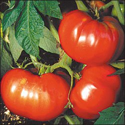 German Pink, Amish heirloom tomato seeds