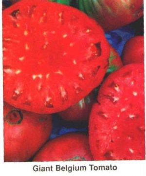 Giant Belgium, heirloom tomato seeds