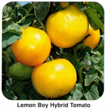 Lemon Boy heirloom yellow tomato seeds