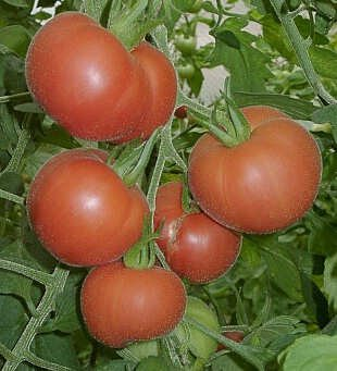 Red Garden Peach tomato seeds, heirloom