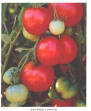 Stupice tomato seeds, early czech heirloom