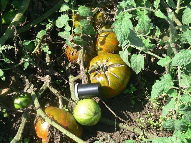 Berkeley Tie Dye dark bi-color tomato seeds