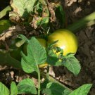 Aunt Gerties Gold yellow heirloom tomato seeds