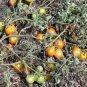 Black Pear heirloom  tomato seeds