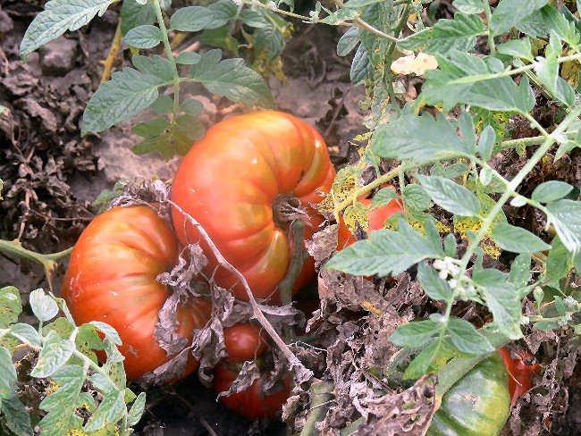 Cuostralee heirloom beefsteak tomato seeds