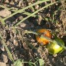 Druzba heirloom  tomato seeds