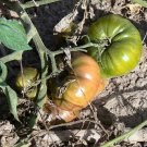 Gary'O Sena heirloom beefsteak  tomato seeds