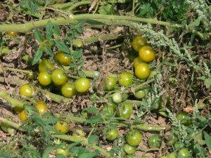 Green Doctors rare cherry tomato seeds