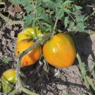 Herman's Yellow oxheart tomato seeds