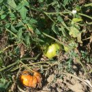 KBX rare  orange beefsteak tomato seeds