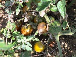 Negro Azteca black cherry tomato seeds
