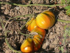Pomodoro Pero Gigante heirloom  tomato seeds