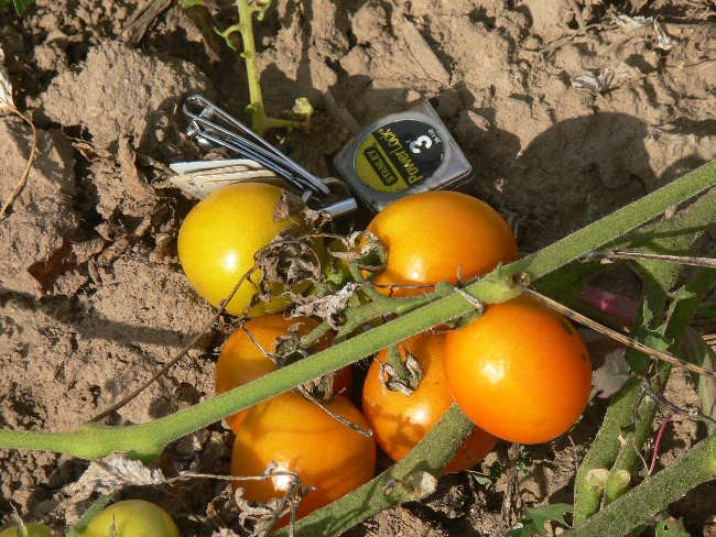 Prize of the Trials rare orange cherry  tomato seeds