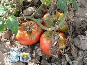 Pruden's Purple heirloom  tomato seeds