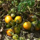 Roughwood Golden Plum heirloom  tomato seeds
