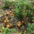 Siletz early  tomato seeds