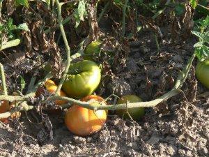 Stump of the World heirloom beefsteak tomato seeds