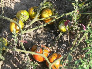 Wes heirloom oxheart tomato seeds