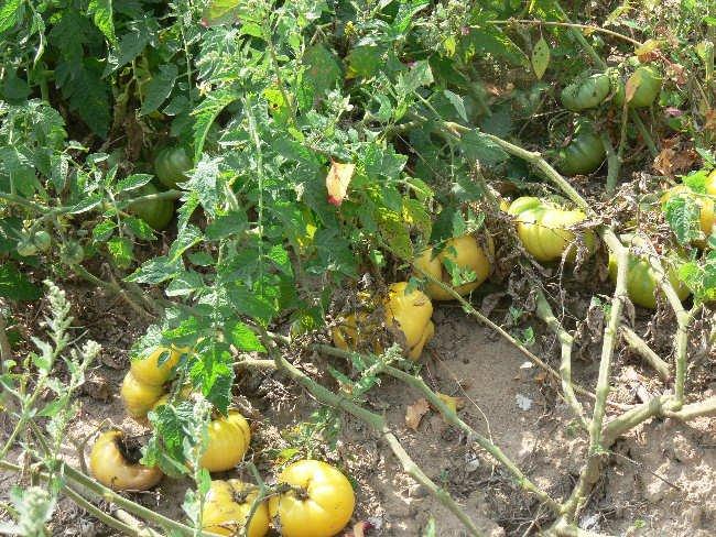 White Queen heirloom beefsteak tomato seeds
