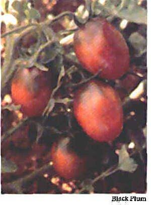 Saljut heirloom plum / grape type  tomato seeds