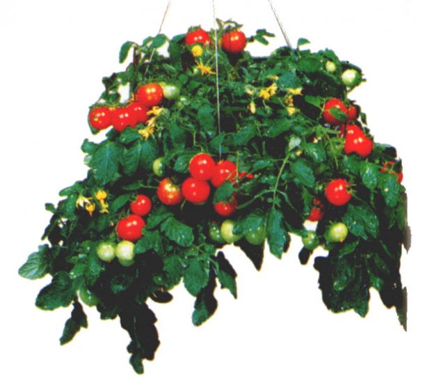 Tumbler hanging basket cherry tomato seeds