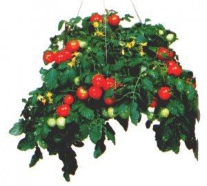 Tumbler hanging basket cherry tomato seeds