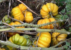 Yellow Ruffled heirloom tomato seeds