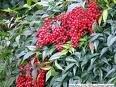 Two Beautiful Red Nandina Plants!