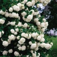 Two Old Fashioned Snowball Bushes!!! (Live Trees)