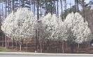 One Beautiful Bradford Pear Tree! (Live Tree) !!