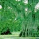 Two Beautiful Bald Cypress Trees!!!