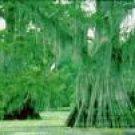 Two Beautiful Bald Cypress Trees!!!