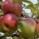 One Beautiful Stayman Apple Tree!
