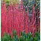 Two Nice Red Twig Dogwood Trees!