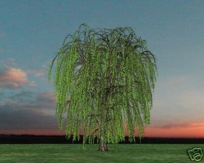 Two Beautiful Weeping Willow Trees!