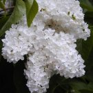 Two White Lillac Bushes!! (Live Trees)
