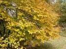 Two Beautiful & Useful Witch Hazel Trees!!