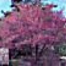 Two Purple Leaf Plum Trees!! (Live Trees) !