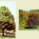 Two Beautiful Ohio Buckeye Trees!!