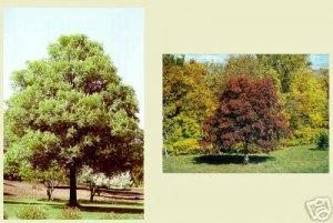 Two Beautiful Ohio Buckeye Trees!!