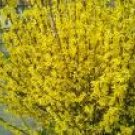 Two Beautiful Forsythia Bushes/Trees! L@@K!
