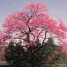 Two Beautiful Redbud Trees!! (Live Trees-- Ready to Plant)