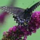 Two Black Knight Butterfly Bushes! Beautiful~~!!